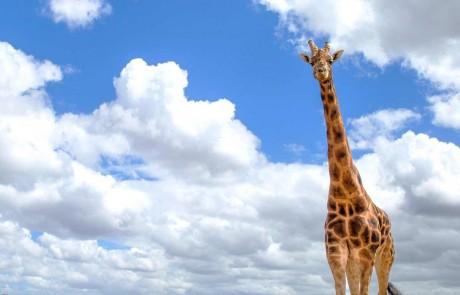 Giraffe at Monarto Zoo. Credit: Tourism Australia